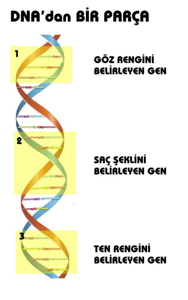 8. Sınıf 2. Ünite DNA ve Genetik Kod Konu Anlatımı Dnz Hoca 5